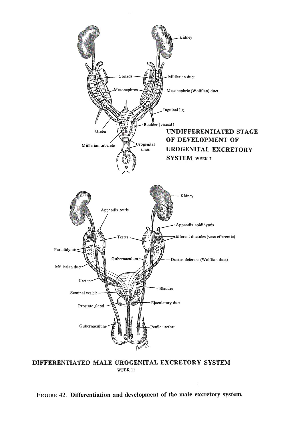 the genital or reproductive system: primive genital tracts and  sex determination: image #3