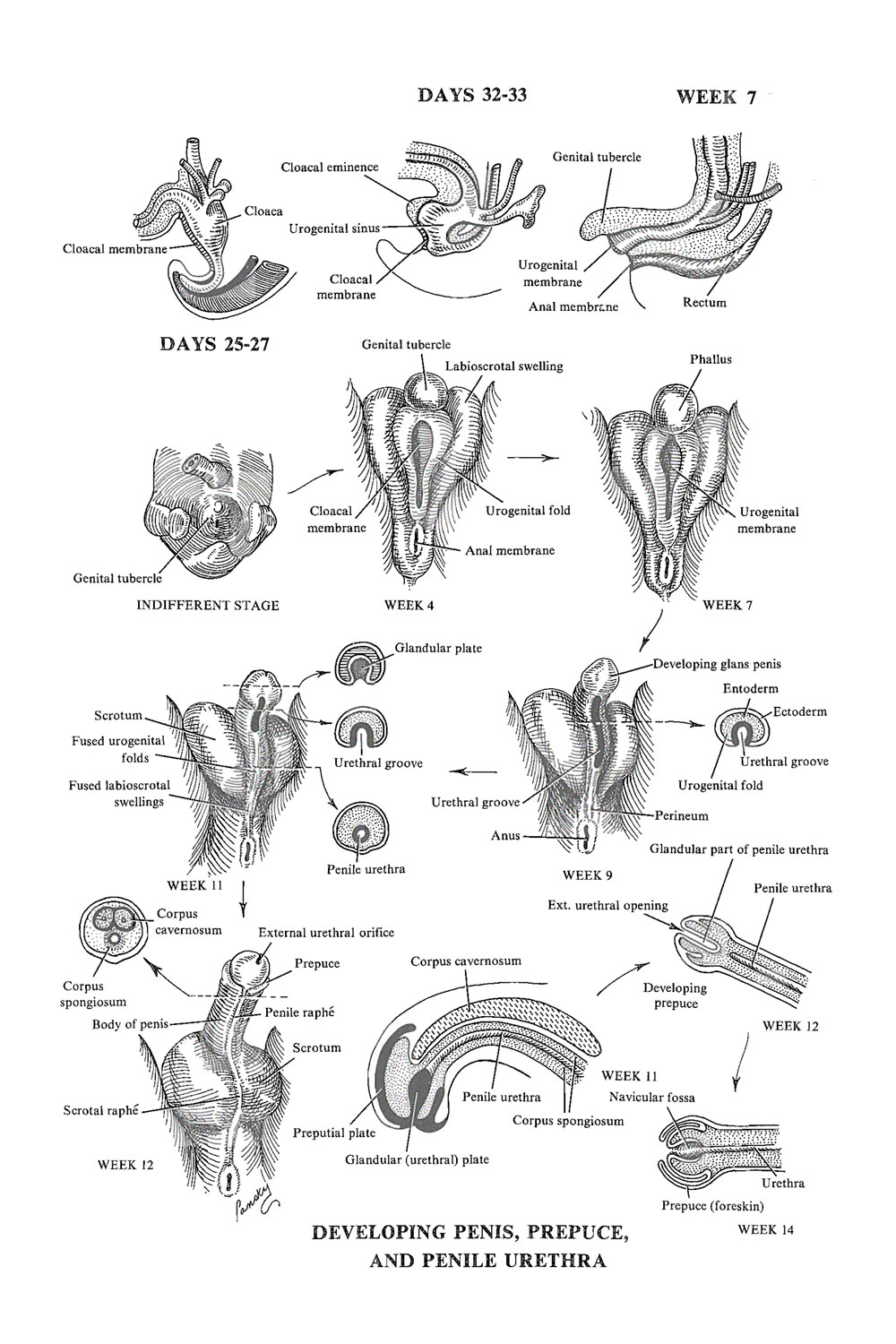 development of the male external genital organs: image #1