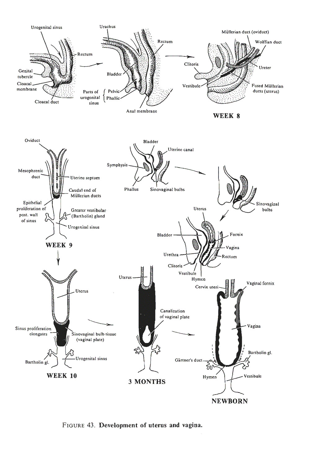 differentiation of the female genital tracts: uterus, vagina, auxiliary glands, mesenteries: image #2