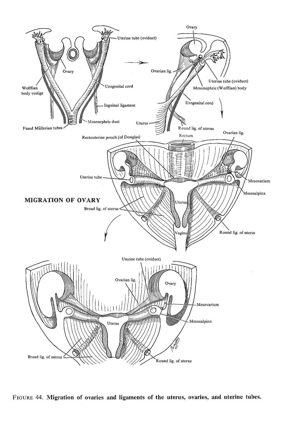 differentiation of the female genital tracts: uterus, vagina, auxiliary glands, mesenteries: image #3