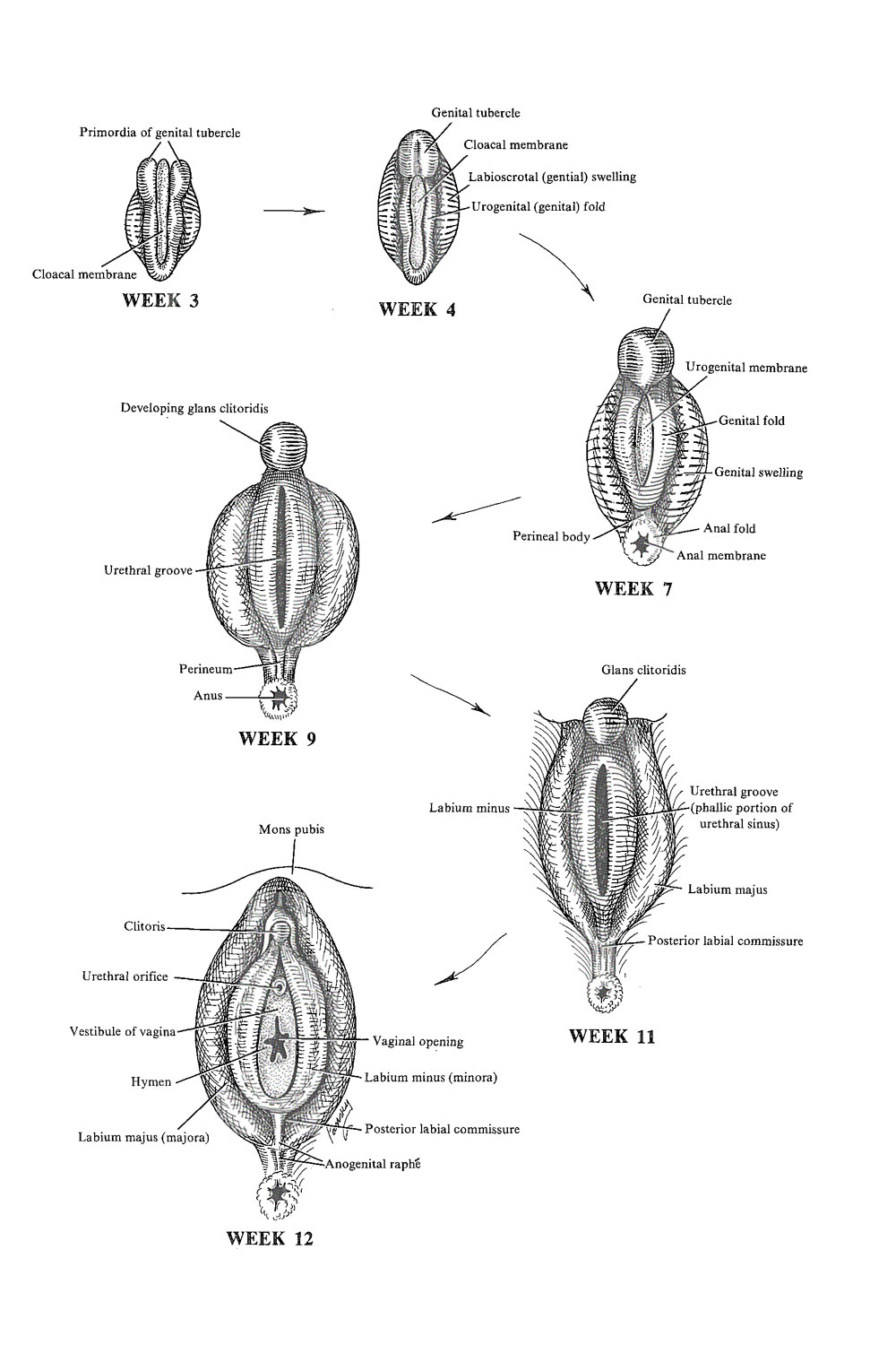 development of the female external genital organs: image #1