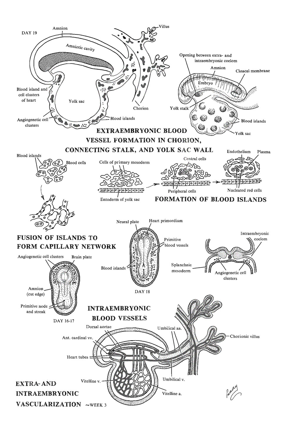 cardiovascular circulatory and lymphatic systems: early development: image #1