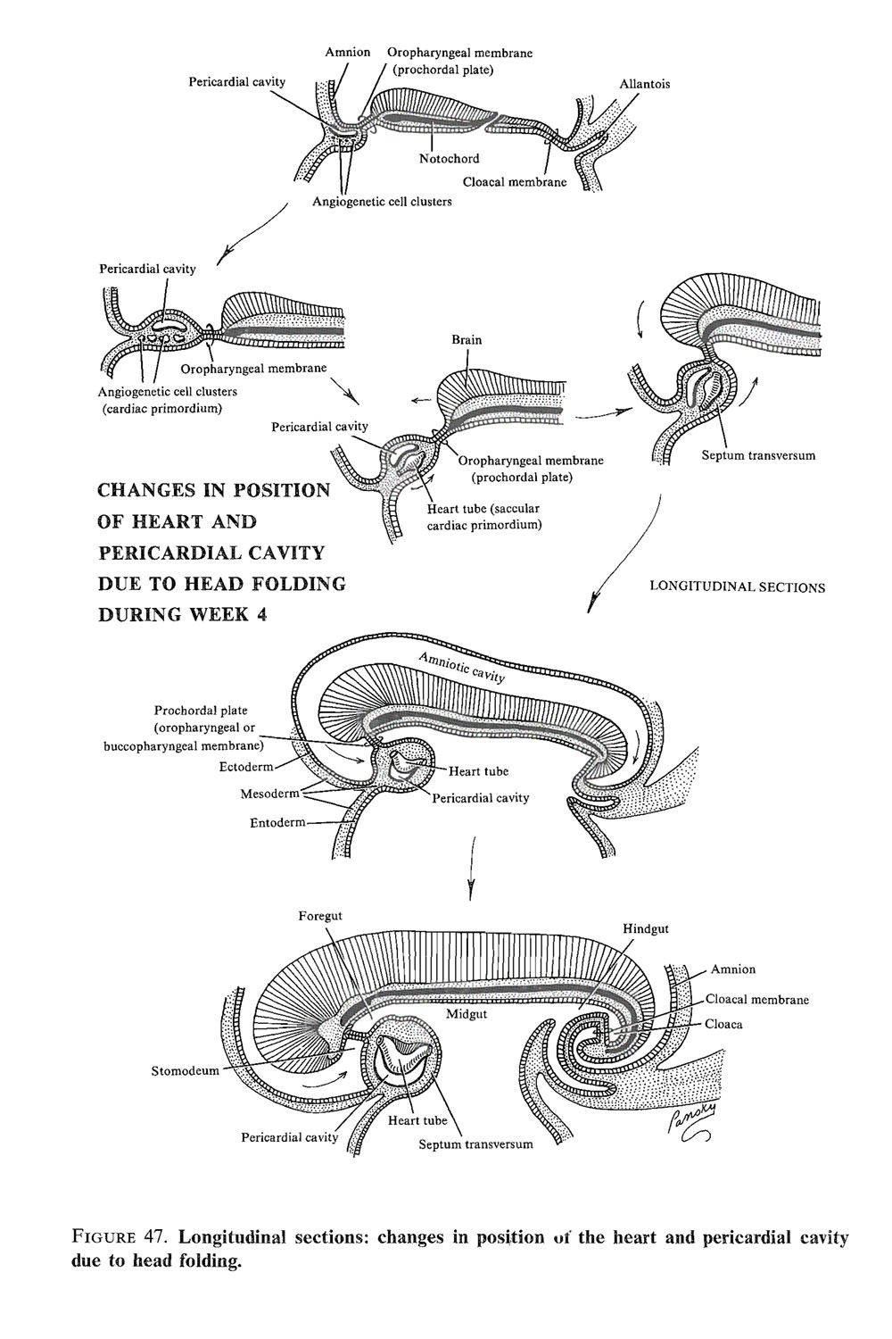 development of the heart:  cardiac tube development: image #2