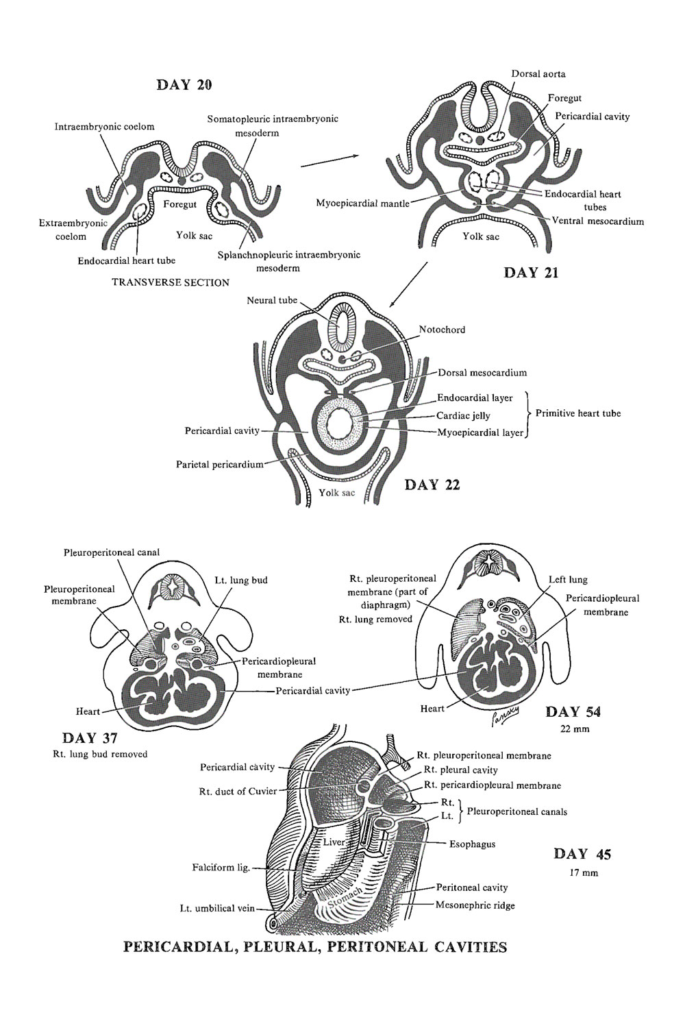 pericardial cavity development and primitive heart circulation: image #1