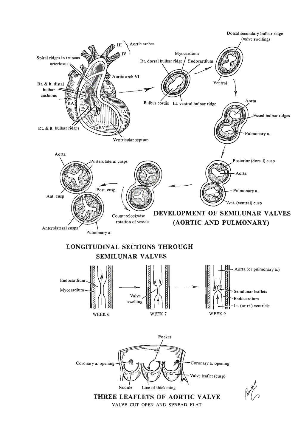 the cardiac valves and  conducting system: image #1