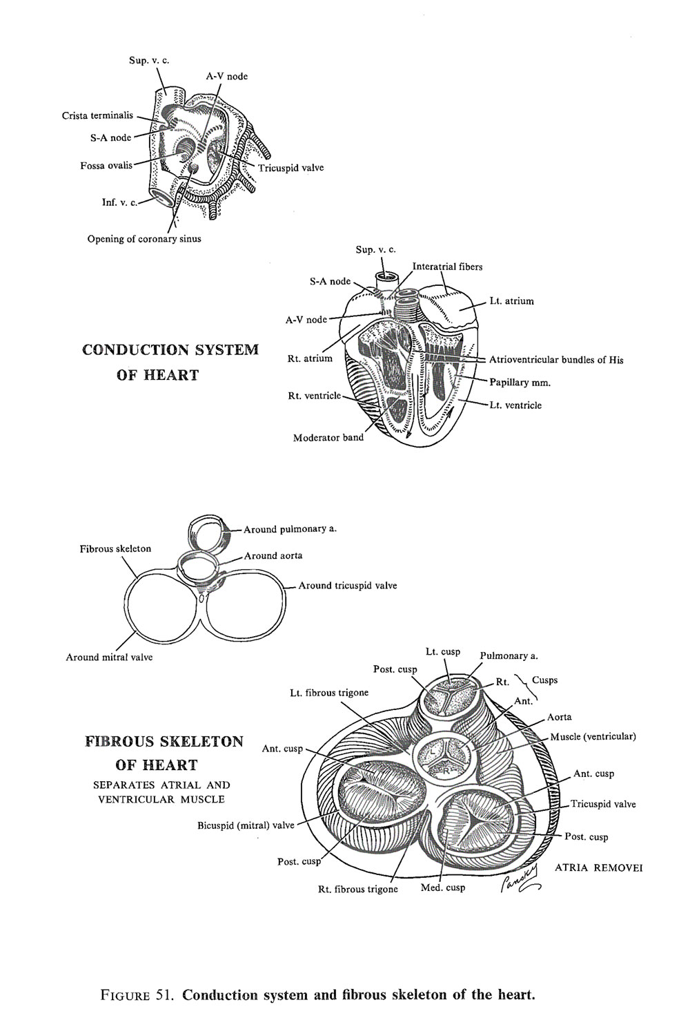 the cardiac valves and  conducting system: image #2