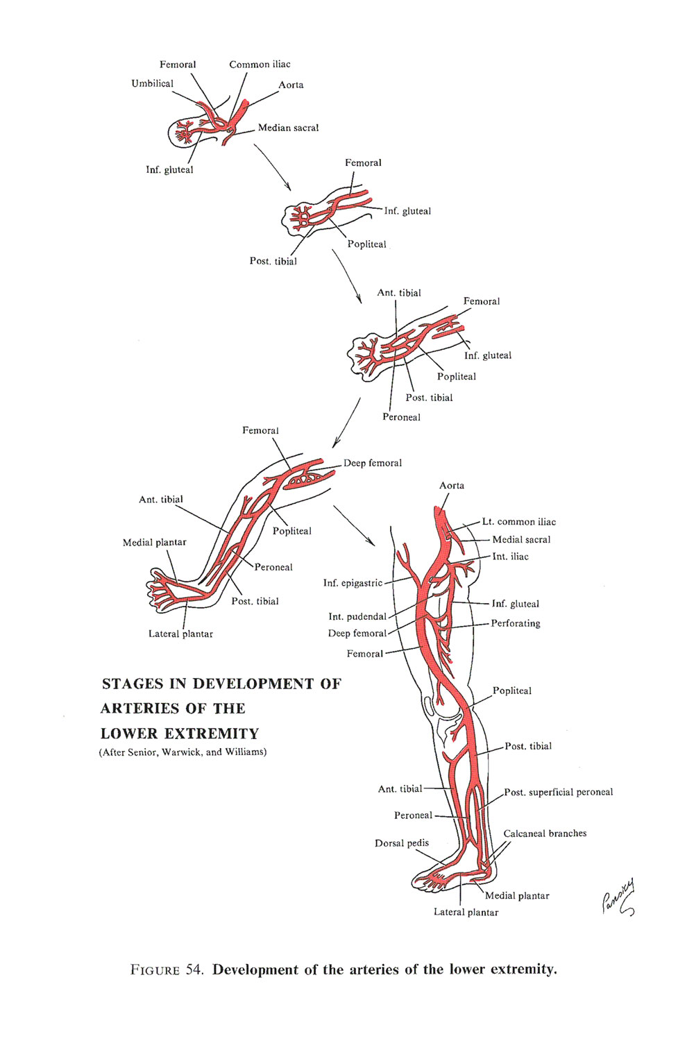 development of the arterial system: image #3