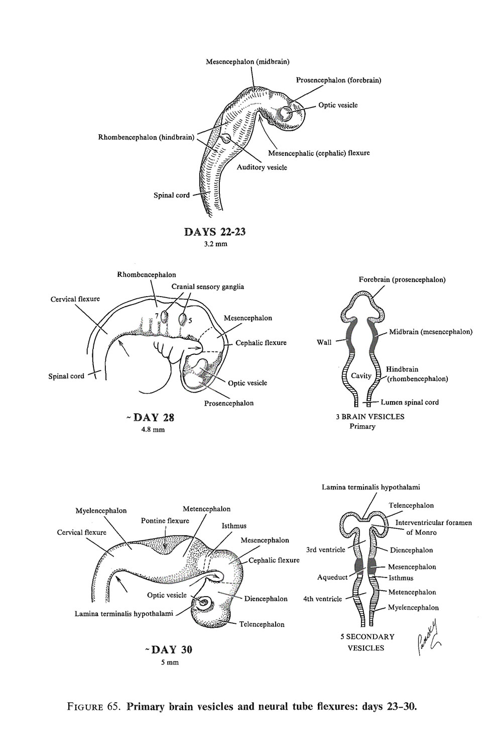 general development of  the central nervous system: image #2