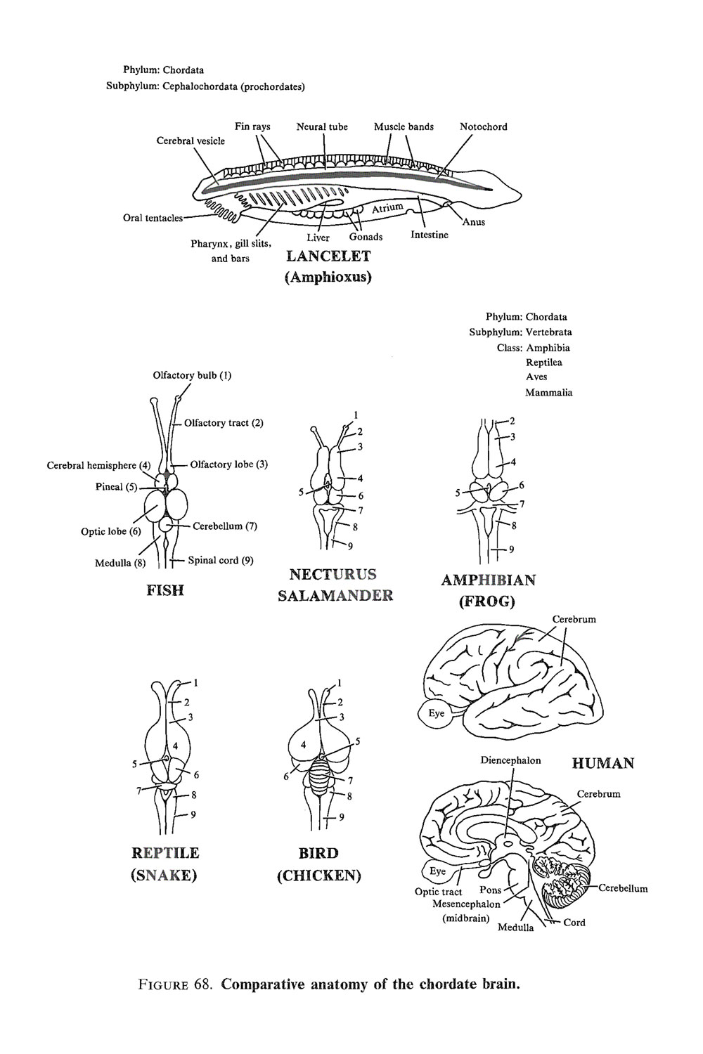 phylogenesis of the nervous system: image #3