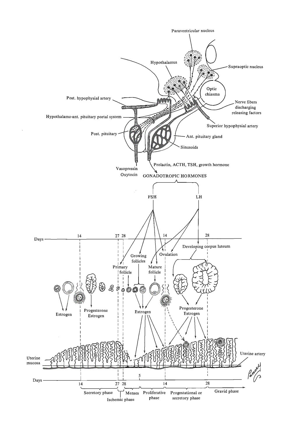 implantation and its preparation: general concepts: image #1