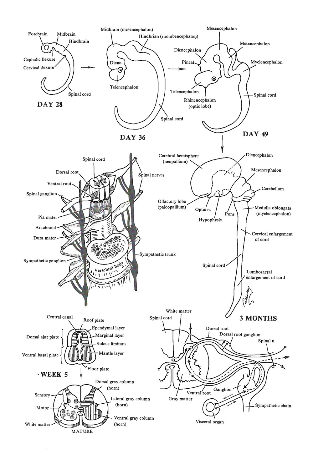 general considerations related to the anatomy of the spinal cord: image #1
