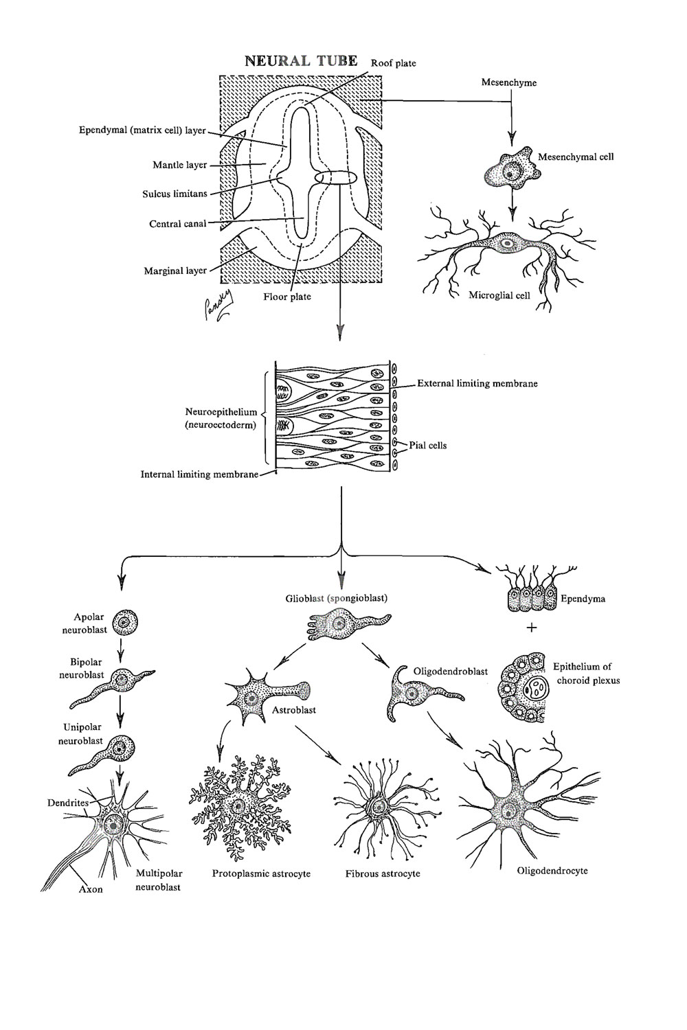 the spinal cord: differentiation of nerve and glial cells: image #1