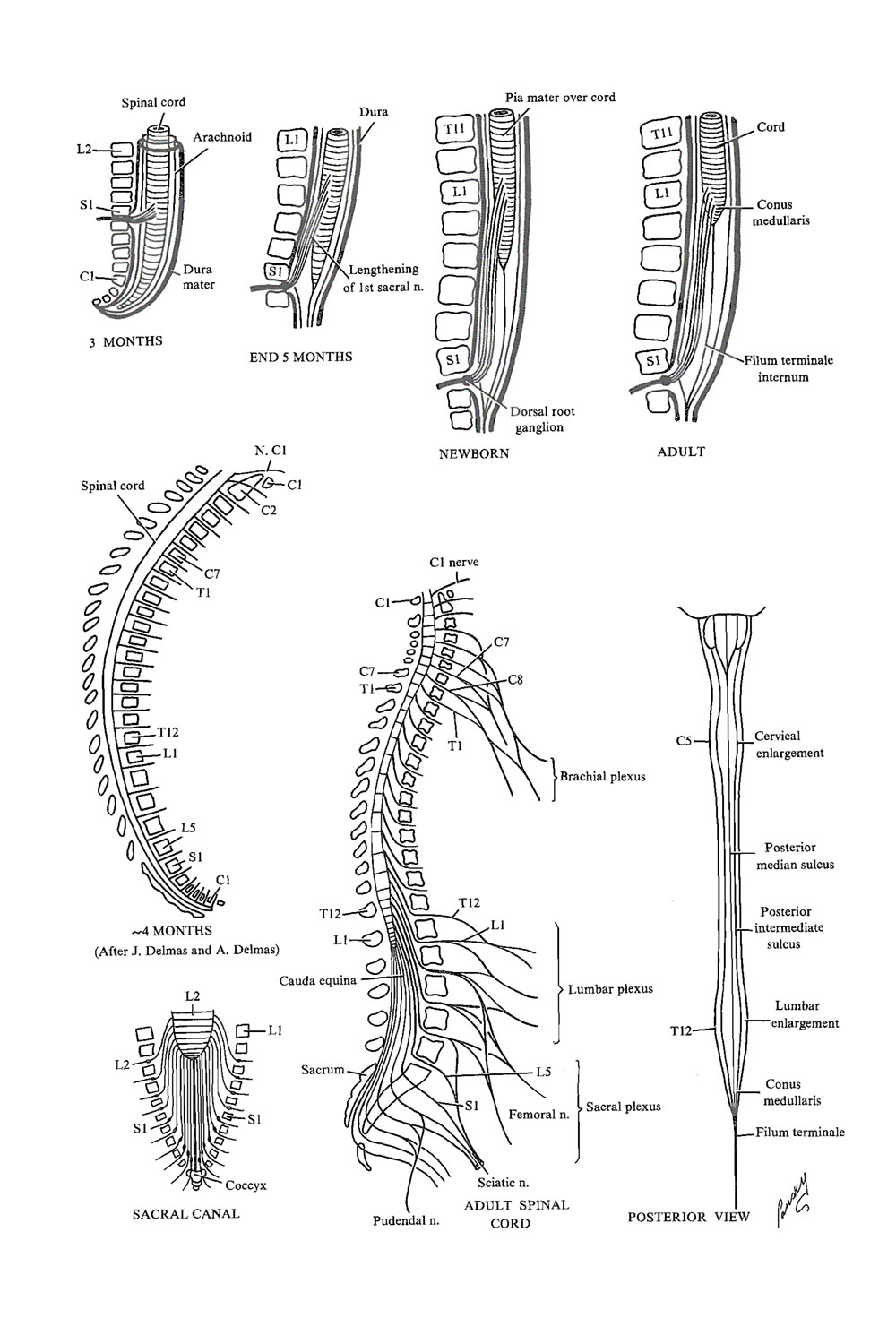 Chapter 144 Spinal Cord Length And Spinal Meninges Review Of Medical Embryology Book Lifemap Discovery The standard approach for sectioning of the filum terminale for a tethered spinal cord can be achieved via a limited s(1) exposure. lifemap discovery lifemap sciences