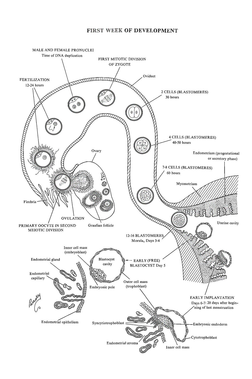 Chapter 14 Week 1 Of Embryonic Development Ovulation To