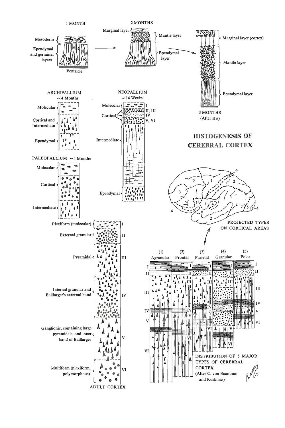 histogenesis of the cerebral cortex: image #1