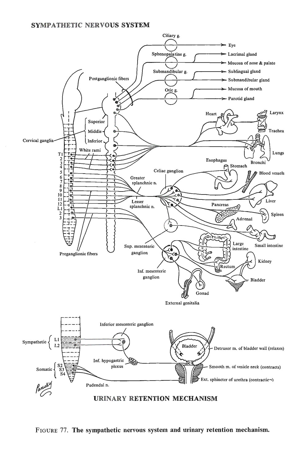 the autonomic nervous system:  the parasympathetic system: image #2