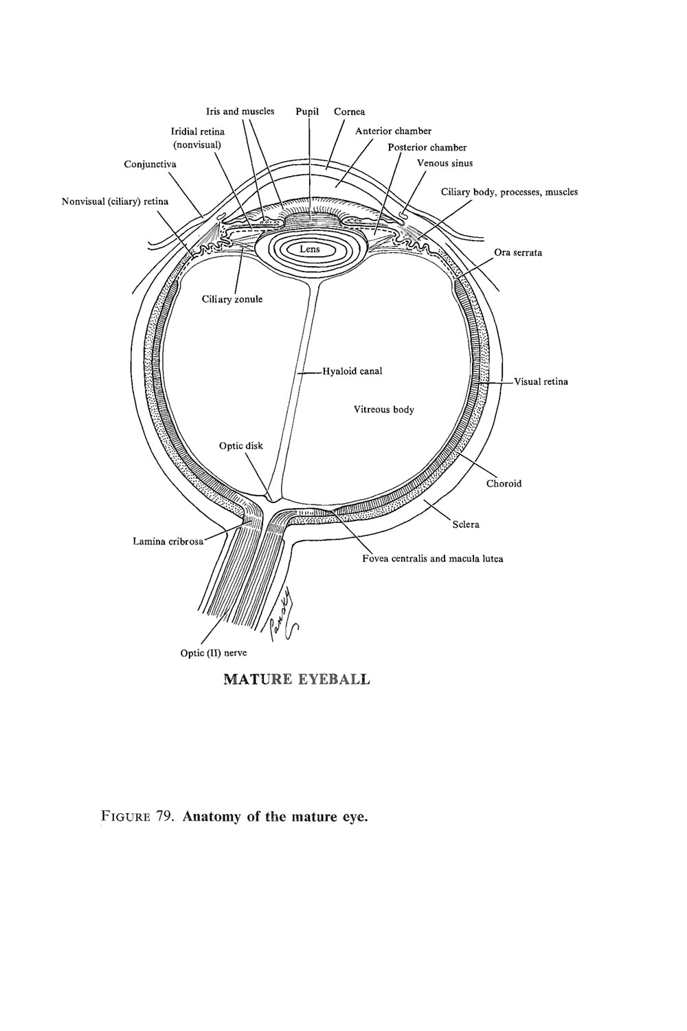 Chapter 167. The Eye: Optic Cup and Lens Vesicle, Retina, Iris, and ...