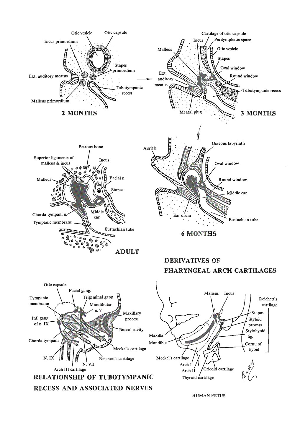 Chapter 174 The Vestibulocochlear System The Middle Ear Review