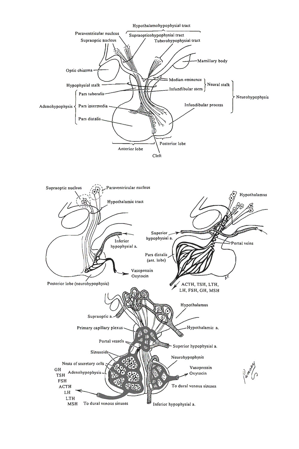 the hypophysis (pituitary gland):  neural primordium and portal system: image #1