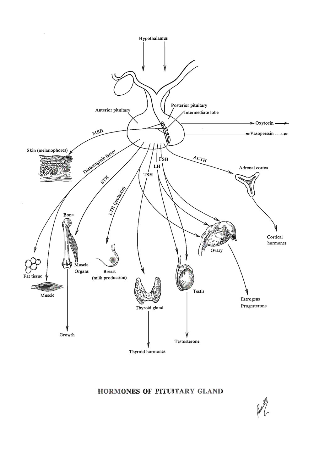 Chapter 178. Role of The Hypophysis (pituitary Gland): Physiology ...