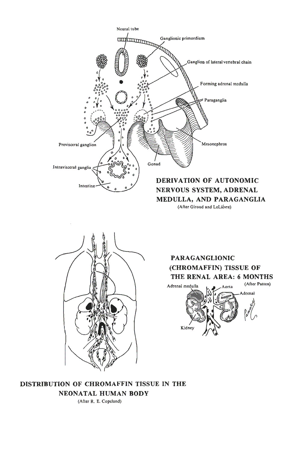 the paraganglionic system:  the paraganglia: image #1