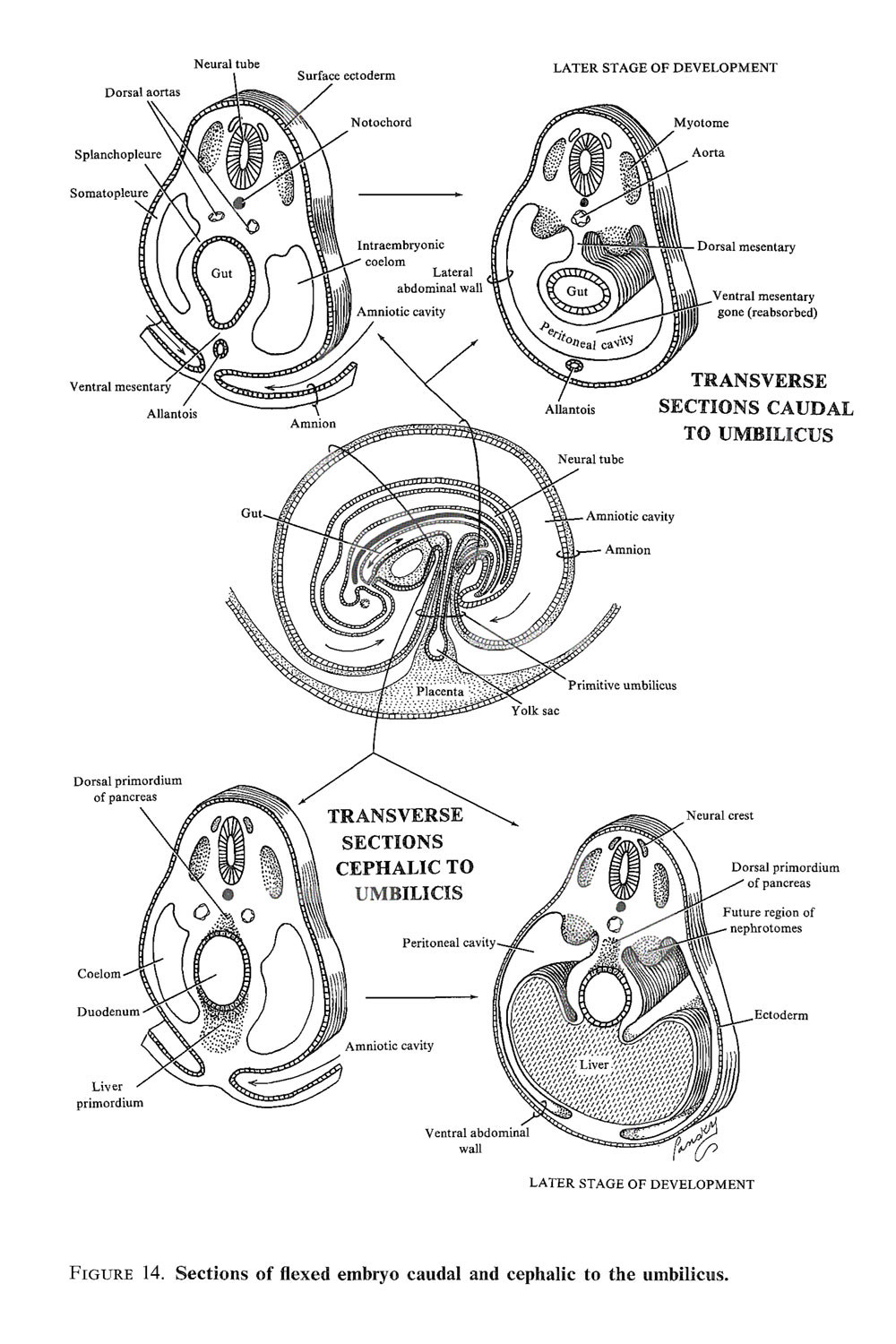 embryonic folding and  flexion of the embryo: image #3