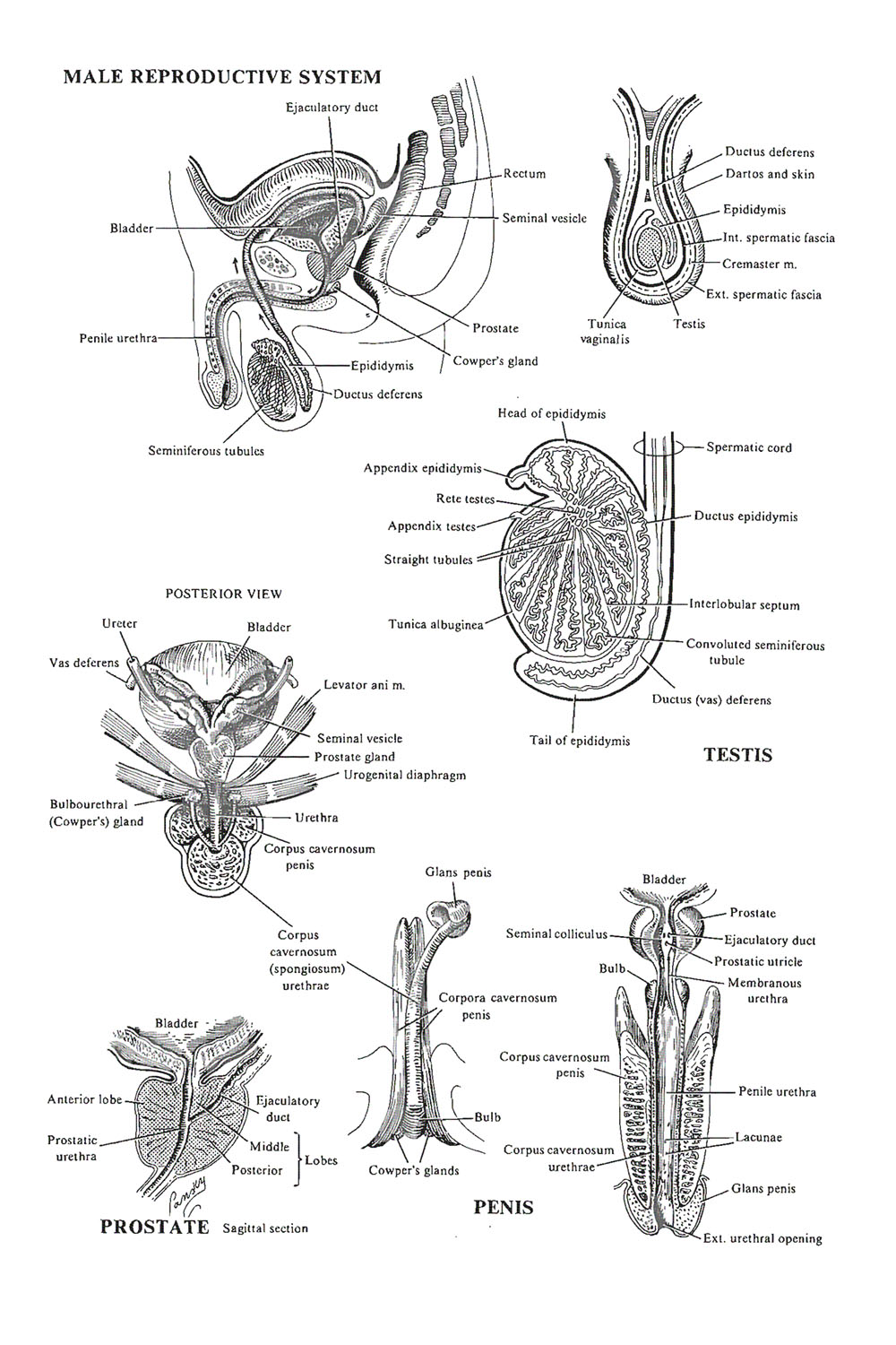 the male reproductive system: image #1