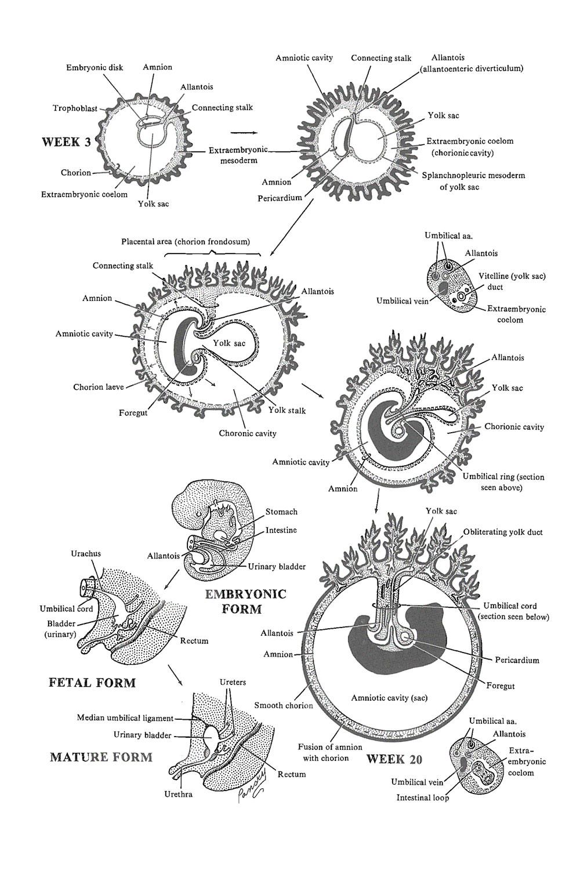 amnion, allantois, and yolk sac: image #1