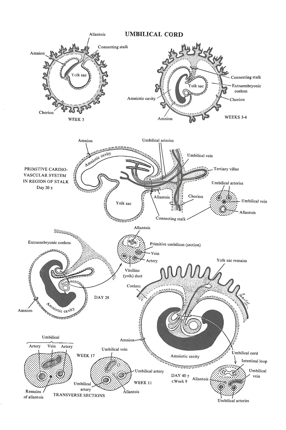 Chapter 35 The Umbilical Cord Review Of Medical Embryology Book