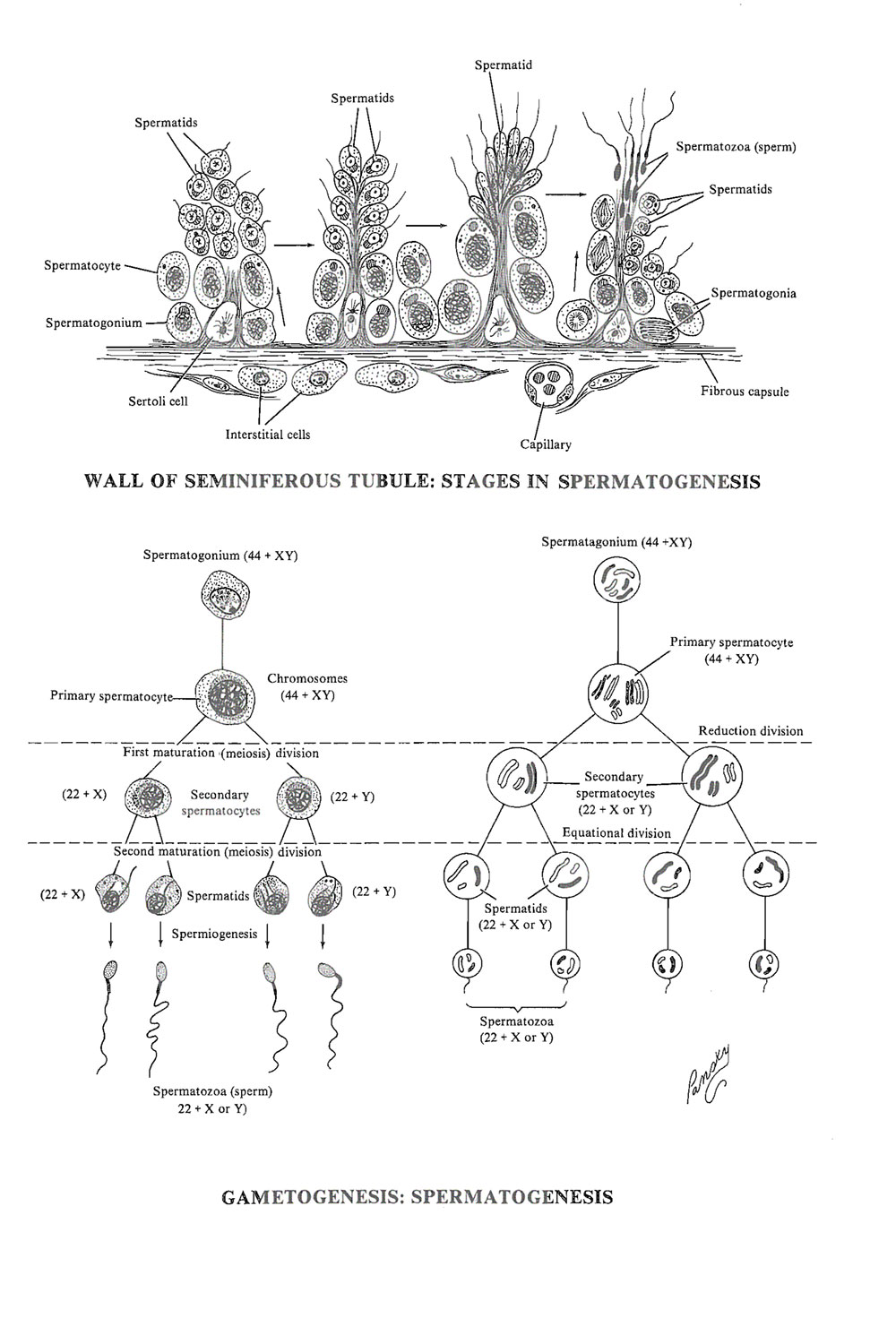 gamete (germ cell) formation, or gametogenesis: spermatogenesis