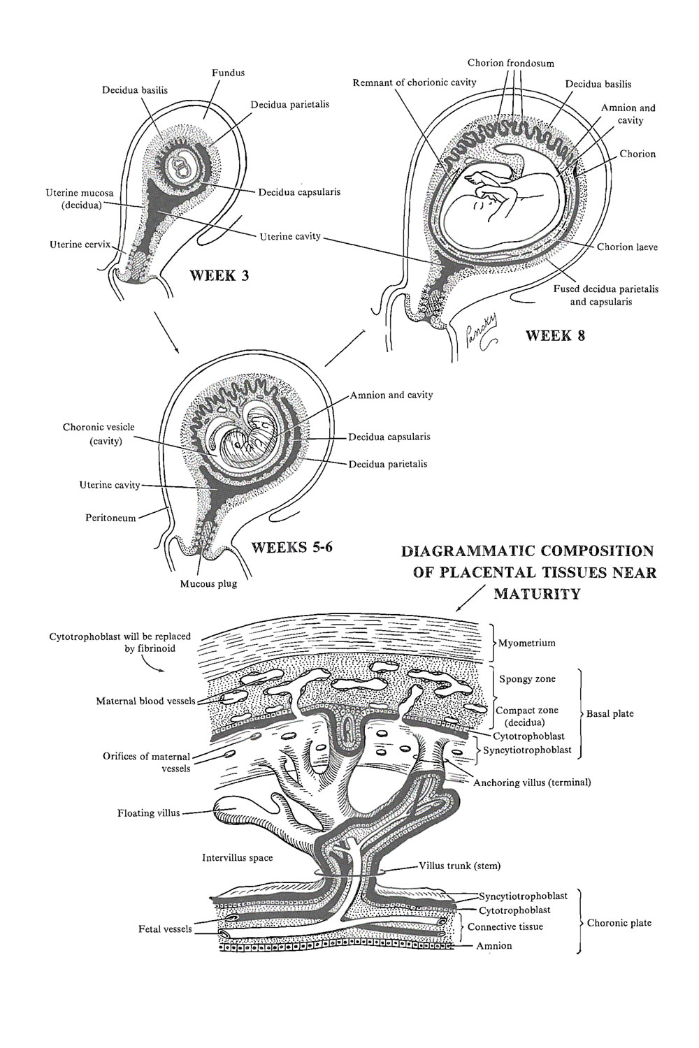 the placenta: decidual formation: image #1