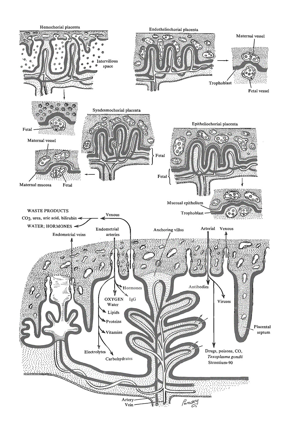 placental physiology: image #1