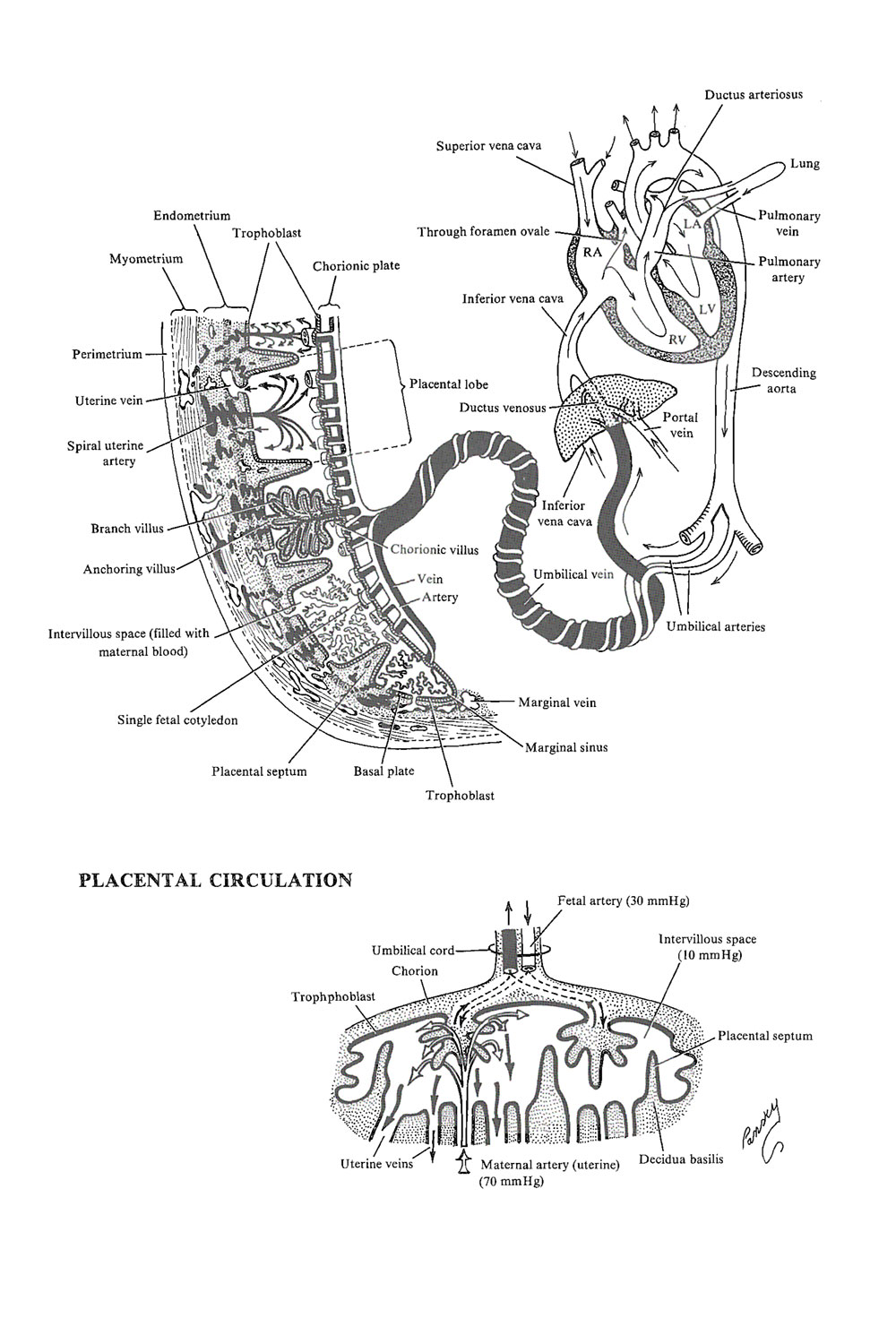 placental circulation: image #1