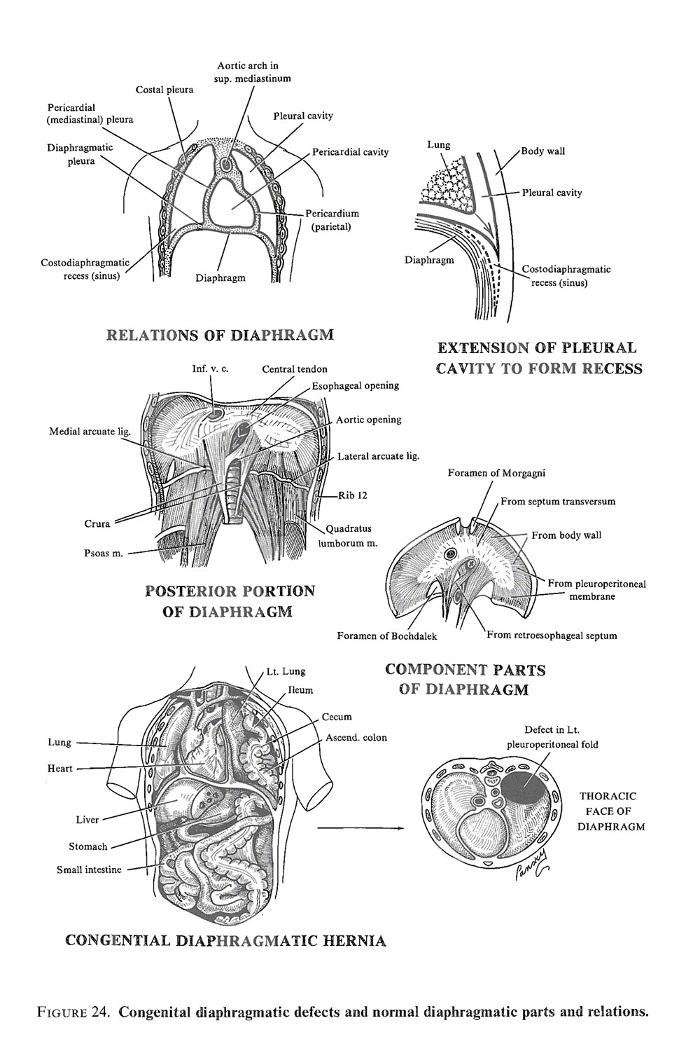 development of the diaphragm: image #3