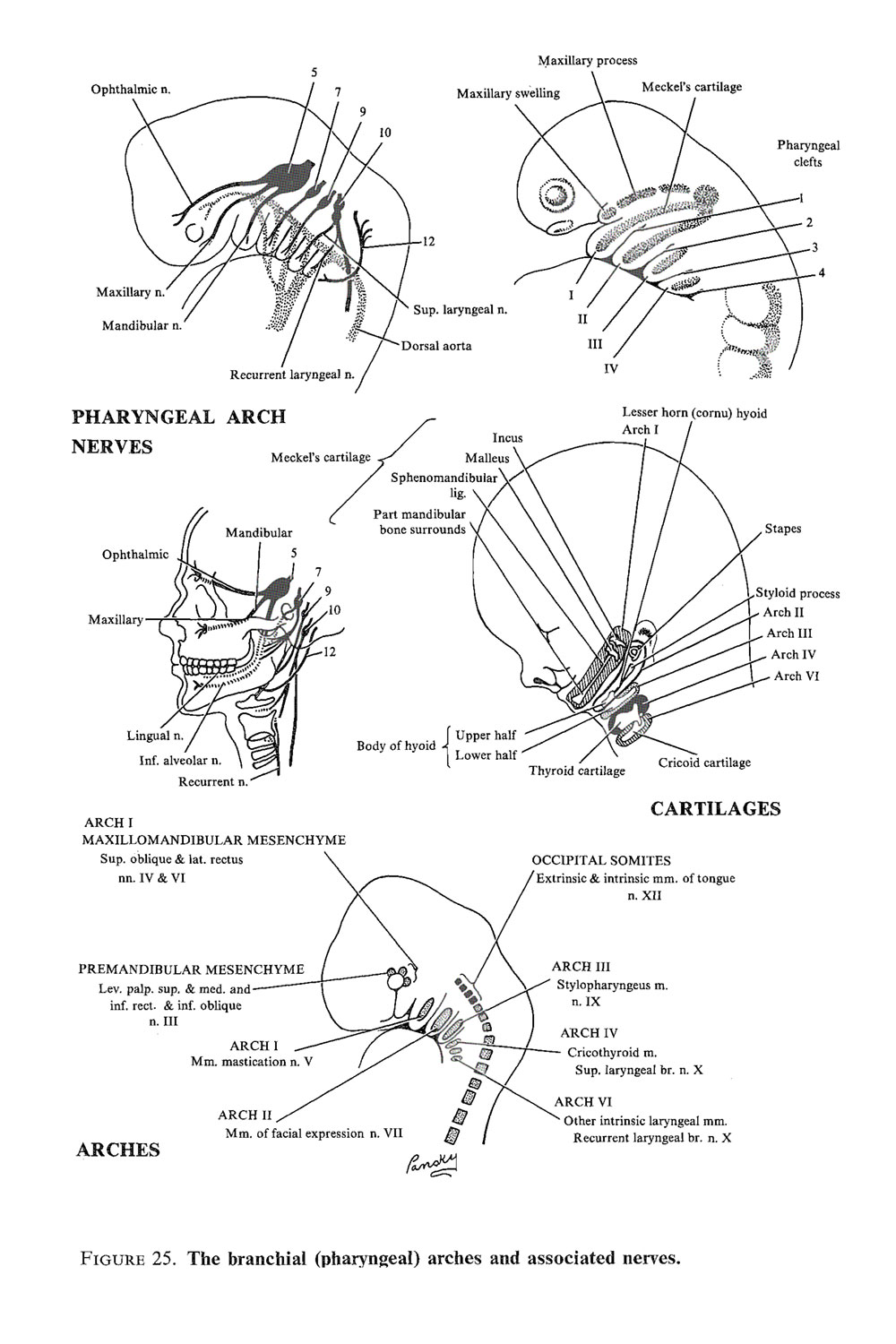 the branchial apparatus:  the branchial (pharyngeal) arches: image #2