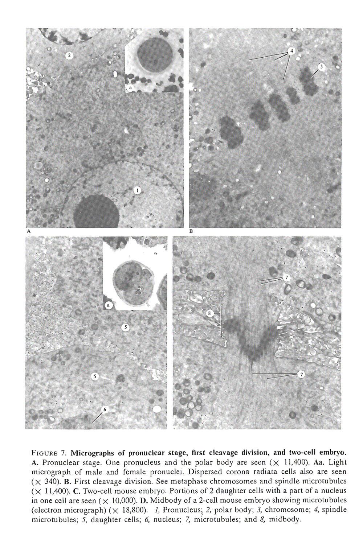 gametogenesis: oogenesis: image #2