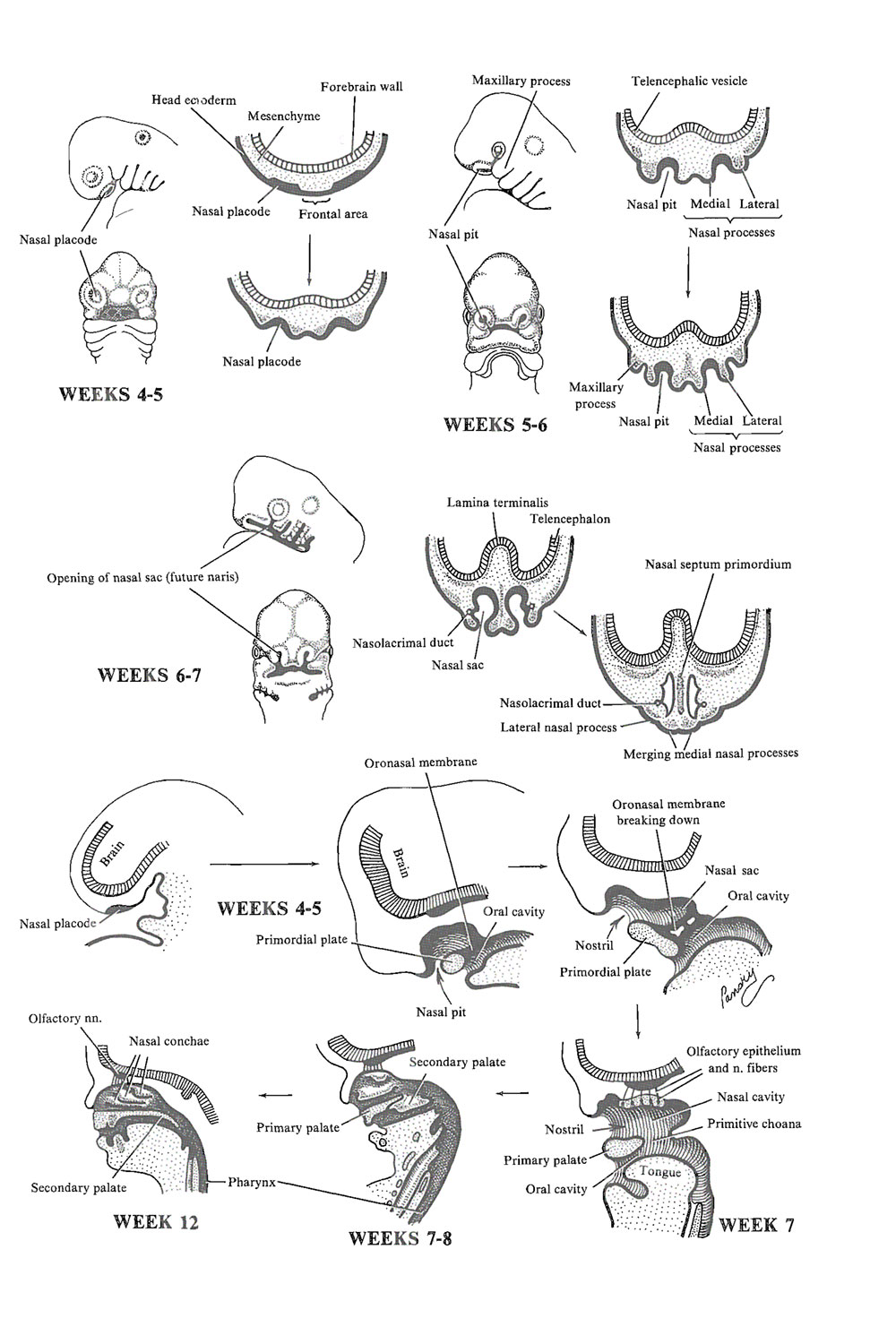 development of the nasal cavities: image #1