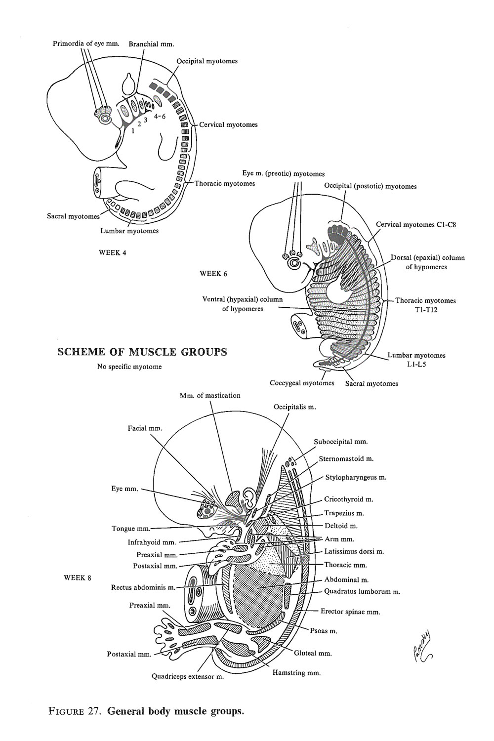 development of the muscular system: image #2
