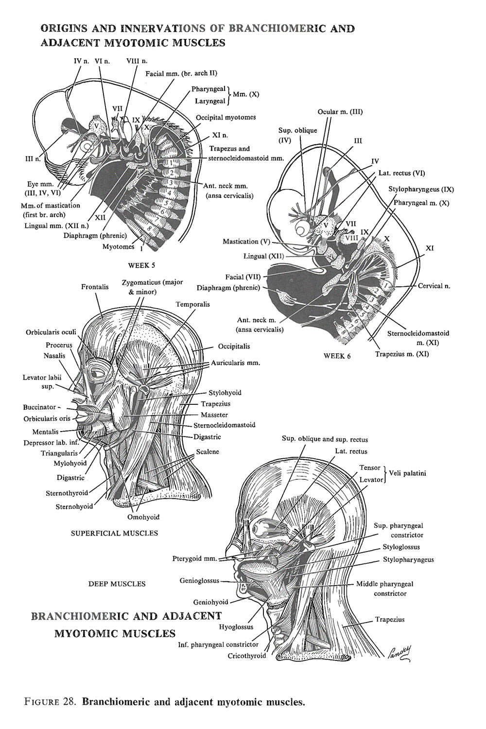 development of the muscular system: image #3