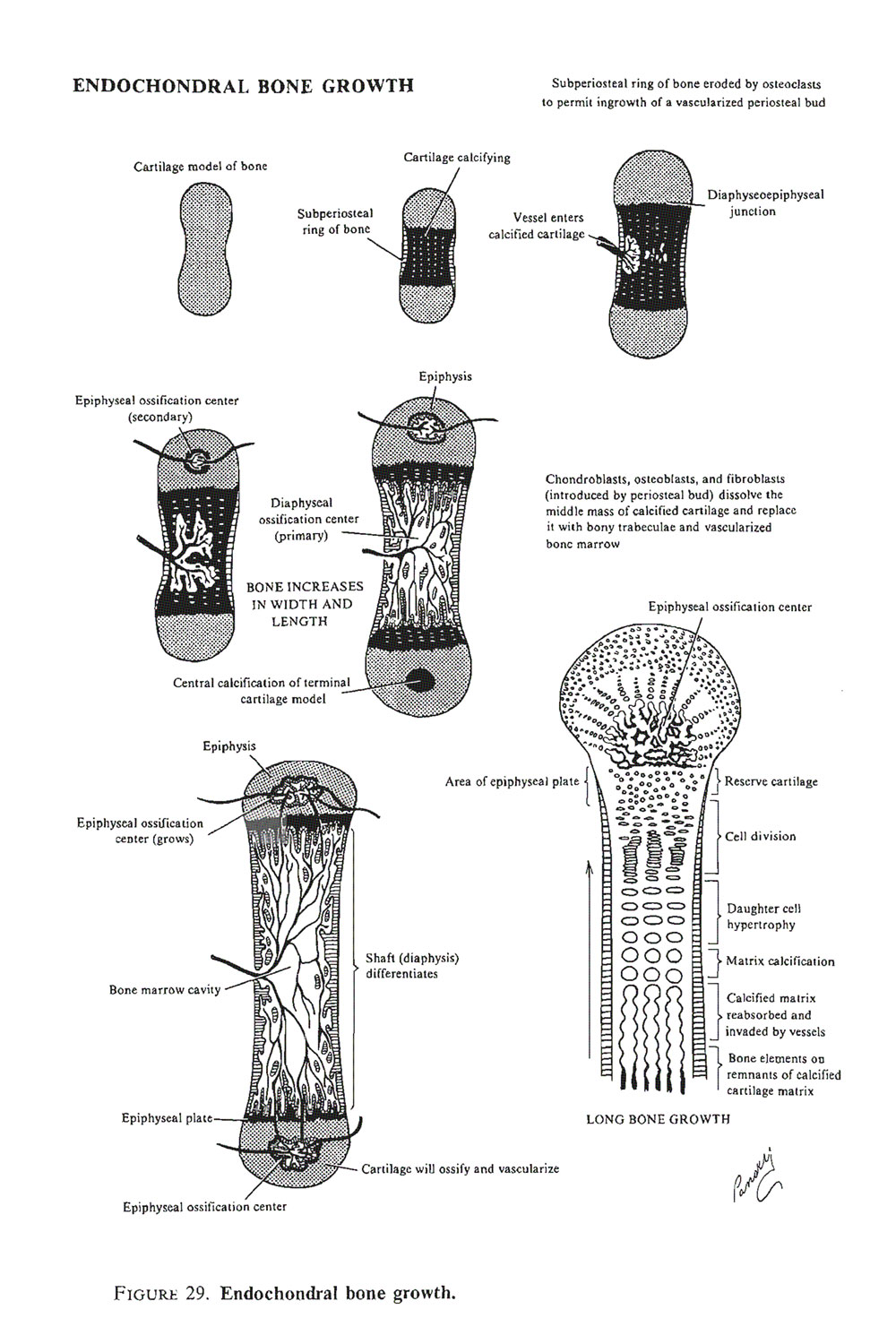 development of the skeletal  and articular systems:  cartilage and bone histogenesis: image #2