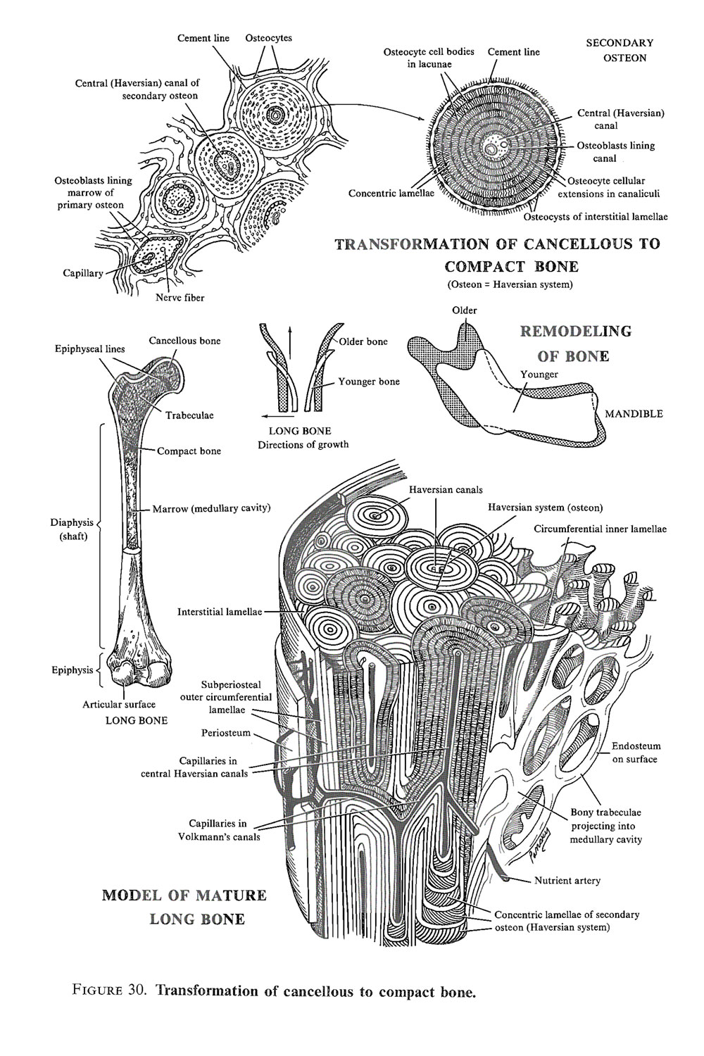 development of the skeletal  and articular systems:  cartilage and bone histogenesis: image #3