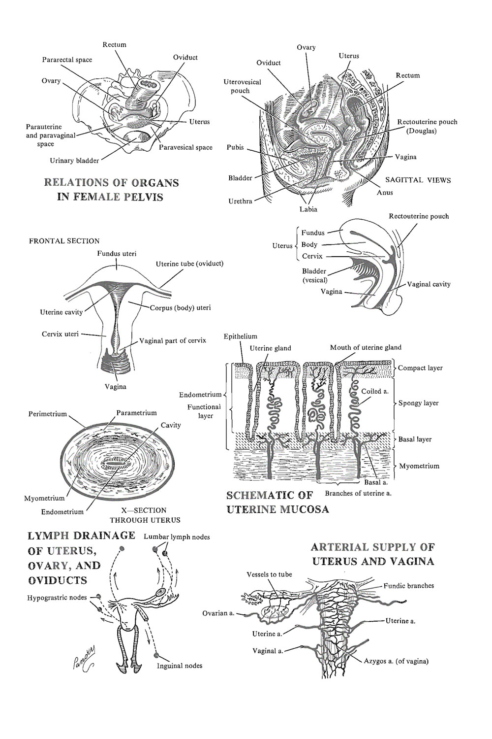 the adult female uterus: image #1