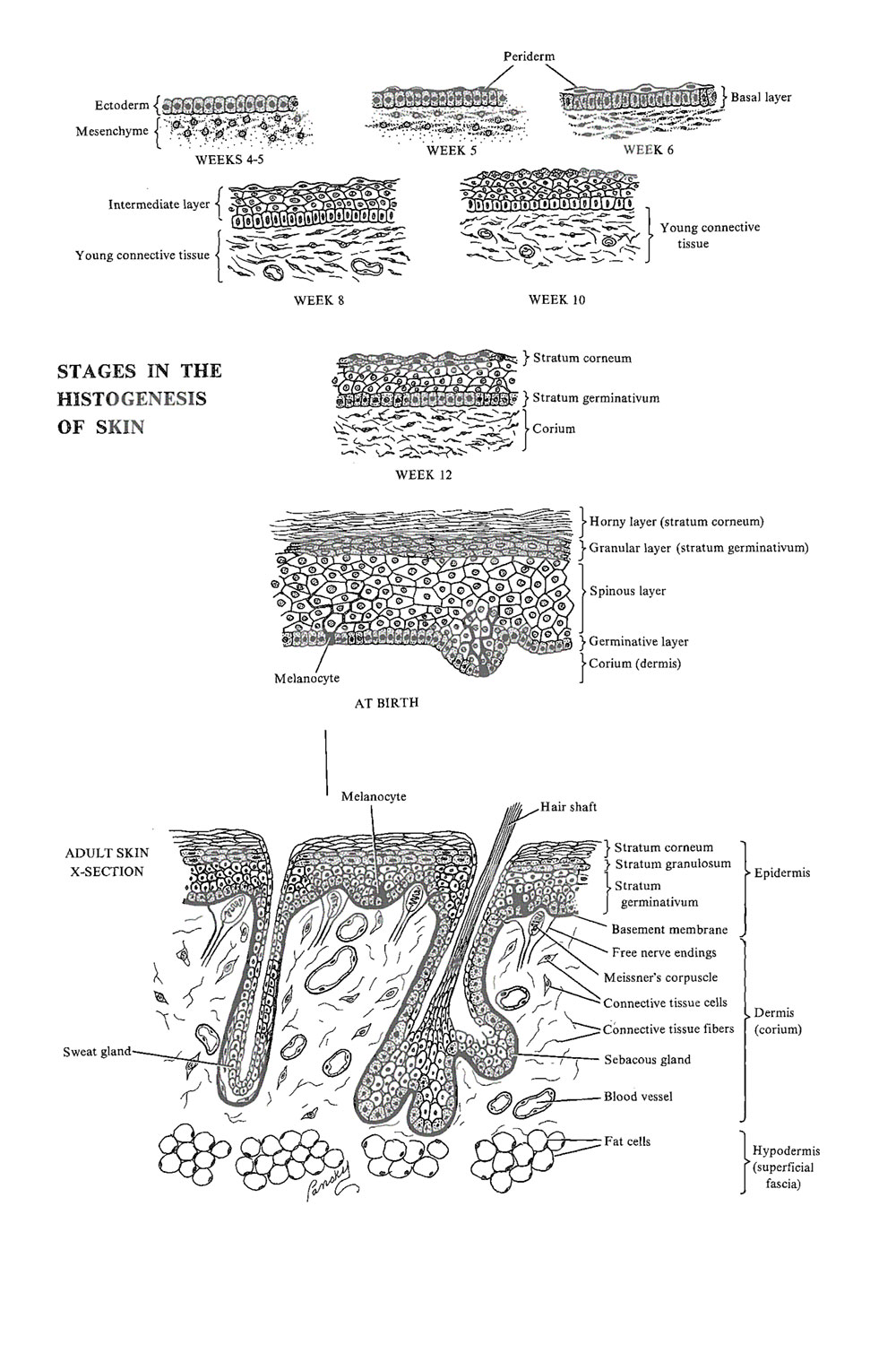 development of the integumentary system: ectodermal derivatives: image #1