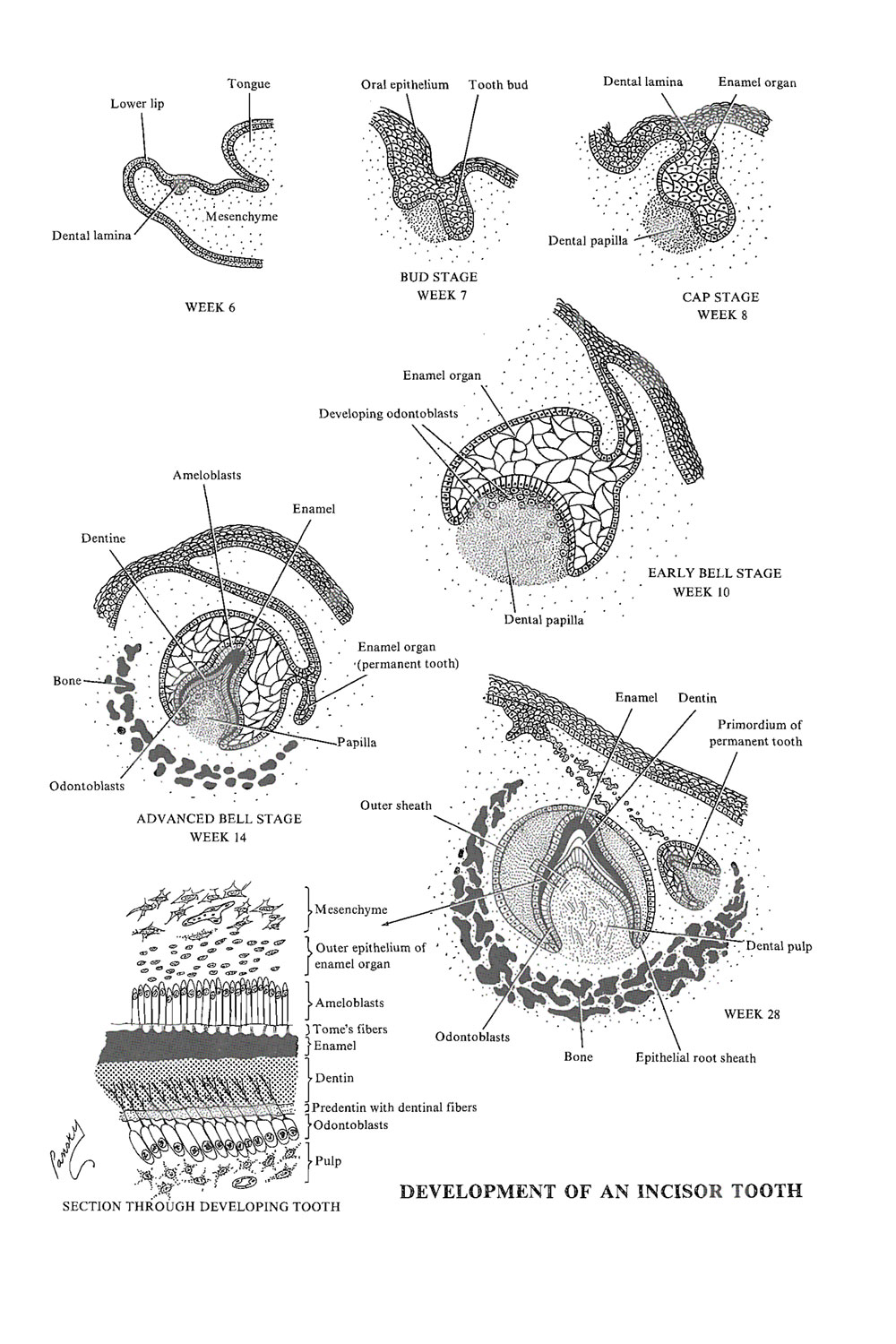 development of the teeth: image #1