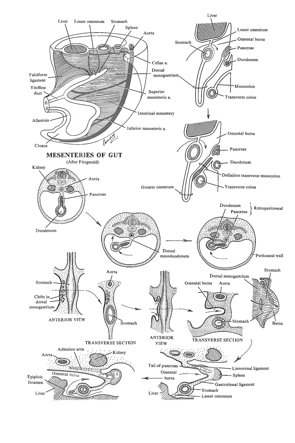 the foregut:  the omental bursa and duodenum: image #1