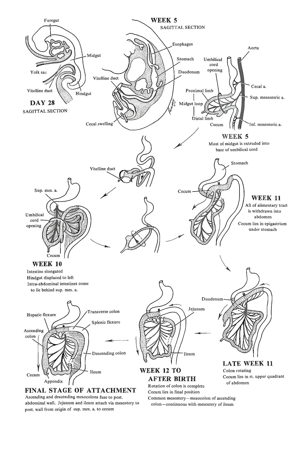 development of the midgut:  general introduction: image #1