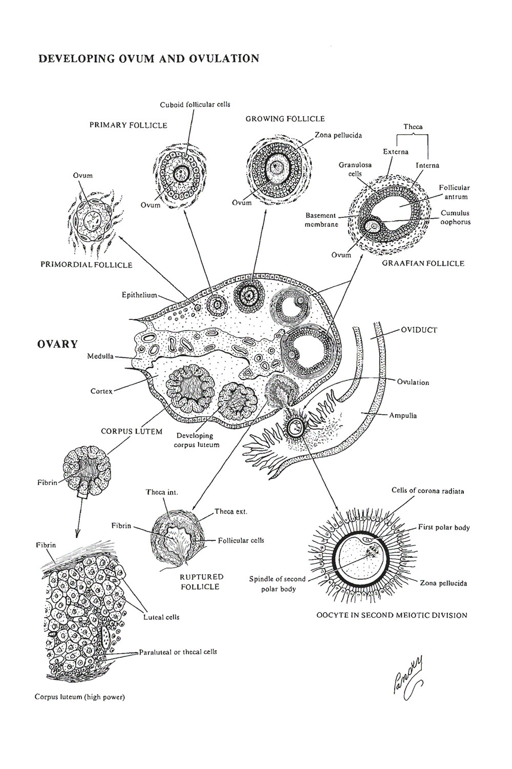 reproductive cycles:  the ovarian cycle and ovulation: image #1