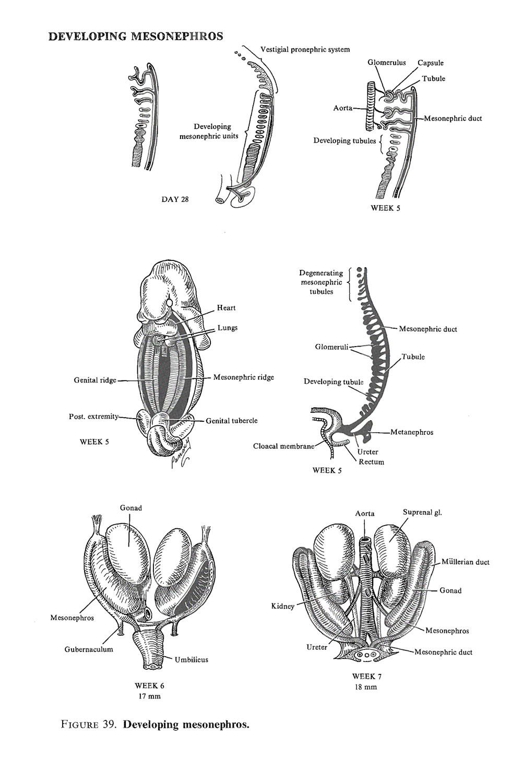 the urinary or excretory system:  the mesonephros: image #2