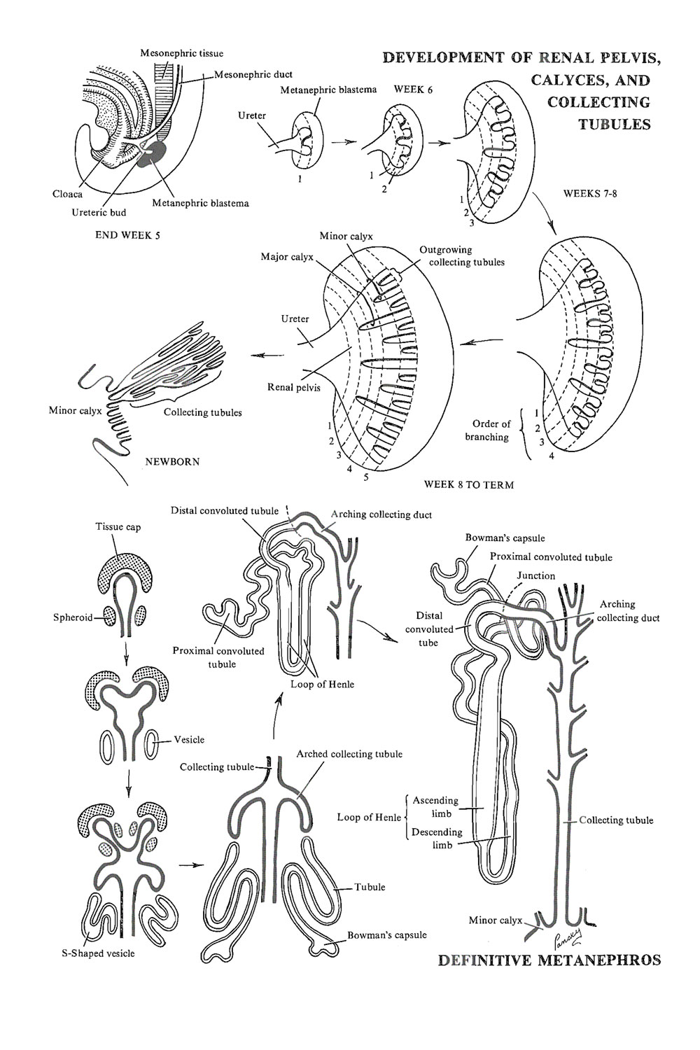 Chapter 93 The Urinary Or Excretory System The Metanephros