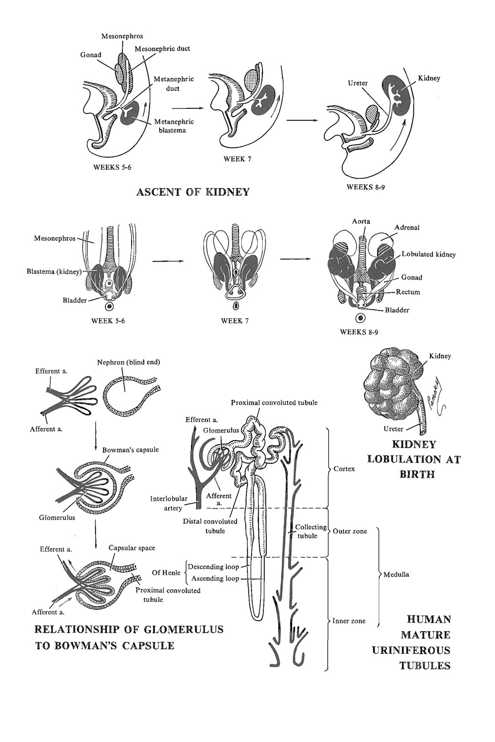 Chapter 94 The Urinary Or Excretory System The Definitive Kidney